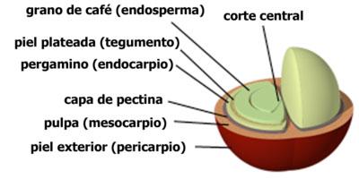 el grano de café verde tiene cafeína